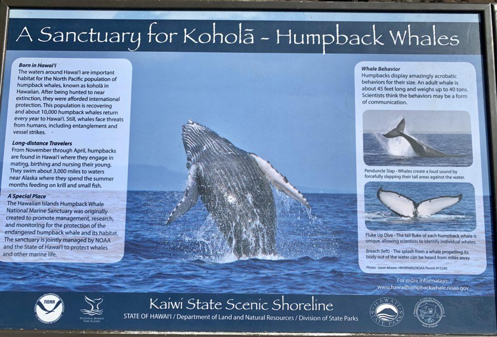 マカプウライトハウストレイル中にある看板 クジラが見えることが書かれている