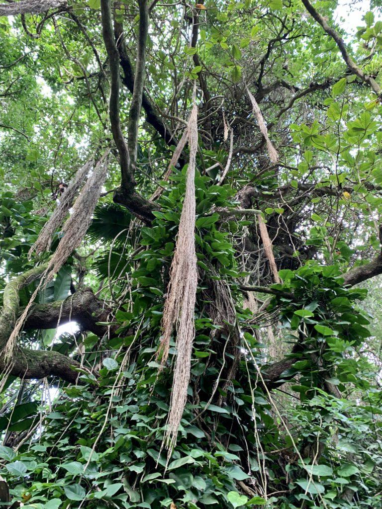 木から垂れ下がるツタが多い