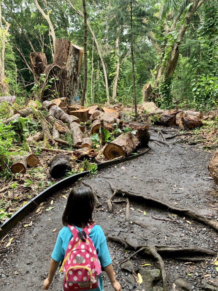 大木が伐採され、トレイルロードが整備されている。 雨で道がぬかるんでいる。