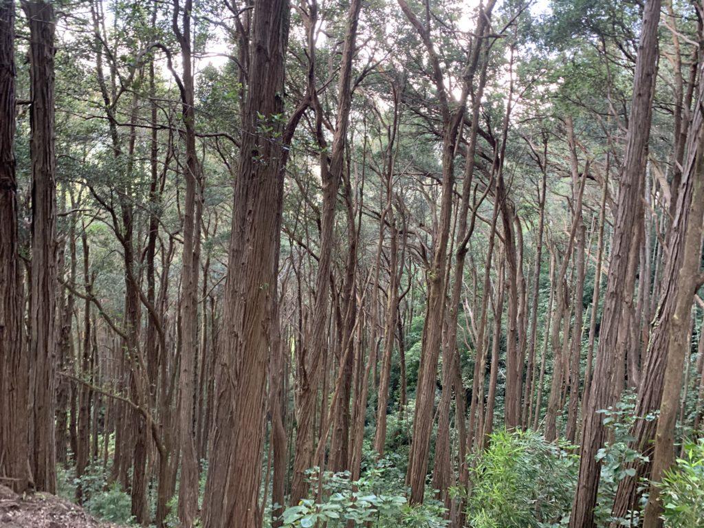 直線的な木が立ち並んでいる