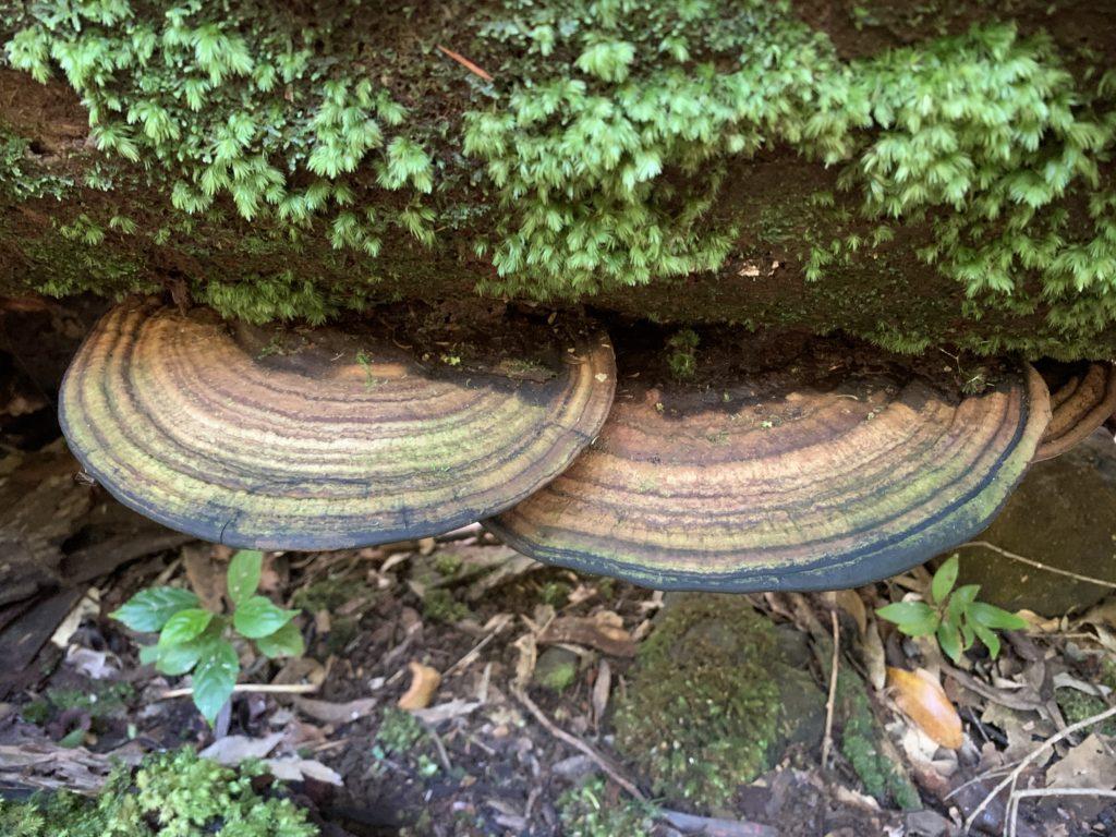 木から生えた円盤型のキノコ レコードのような同心円の模様が入っている
